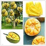 Amarillo: 50 piezas de semillas de jaca frescas Árboles frutales Semillas de árboles gigantes...