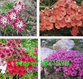 Vente! 100 graines / semences Lot magie noire, atrosanguineus, Chocolate Cosmos, GRAVEMENT RARE Graines de fleurs