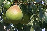 Fruchtbengel, Birnbaum Alexander Lukas, Pyrus communis, mild, süß, schmelzend