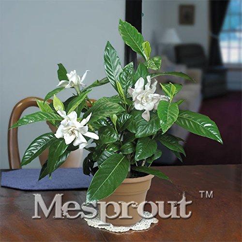 AGROBITS Umhang Jasmin, Bonsai, Gardenie, Jasminoide, duftend, exotische Sträucher, seltene schöne Bonsai-Blume, Bonsai-Blume, für den Innenbereich, 5 Stück