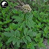 PLAT FIRM KEIM SEEDS: 100pcs: Kaufen Herba Valerianae Samen Pflanze Chinese Valerian Kraut für Xie Cao