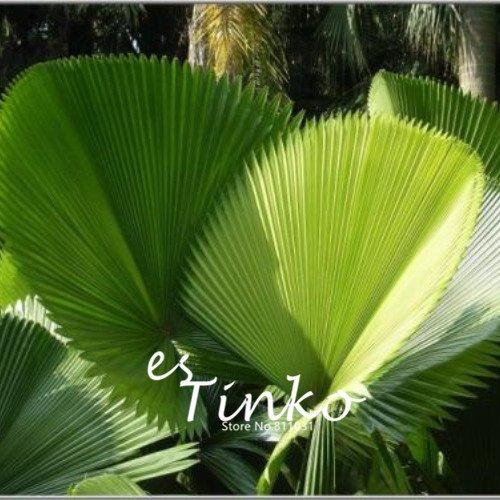 15pcs en forme de palmier ventilateur Graines plantes vivaces plante exotique Bonsai Feuillage Jardin Tropical décoratif Plante à feuillage persistant