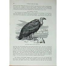 Le Vautour Fauve d'Oie des Oiseaux C1870 de Cassell Gyps Fulvius