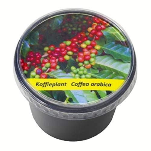 Kit de plantation semis graines de café avec pot