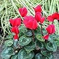 Alpenveilchen Cyclamen rot 11 cm Topf von VDG-LG bei Du und dein Garten