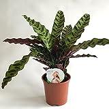AIRY Korbmarante - Calathea lancifolia - Luftreinigende Zimmerpflanze für spürbar gesünderes Raumklima - Passend für AIRY box (14cm Topf)