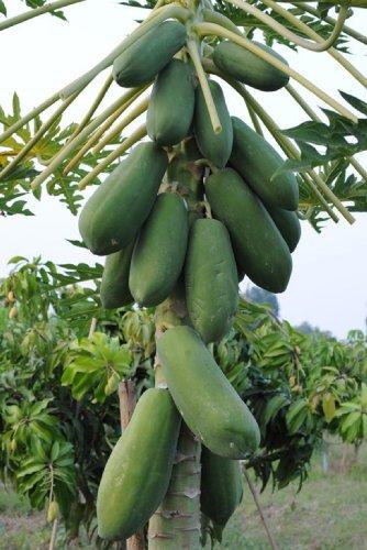 Papaya Samen für Thai Fruit Sweet kakdam Sri Siam Arten aus thaialnd 50–80Samen/Pack