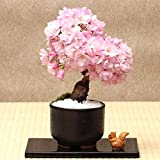 Bombay Japanese Sakura Seeds Cherry Blossoms Seeds Semi di fiori bonsai (20 pezzi o 50 pezzi)