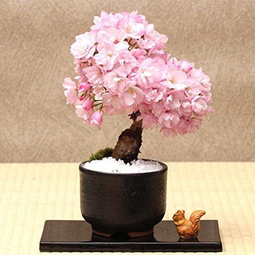 Moresave 20 Stück/Set Seltene Japanische Sakura Blumen Samen Kirschblüten Samen Hausgarten Bonsai Pflanzen