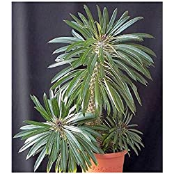 5x Pachypodium lamerei Samen Caudex Madagaskarpalme Pflanze B17