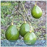 Pinkdose ZLKING 1PCS Avocado Alberi in Rapida Crescita delle Piante Super Natural Products