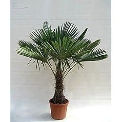 Winterharte Hanfpalme - Trachycarpus fortunei - 150-180cm Stamm 40-50cm im 20Ltr. Topf