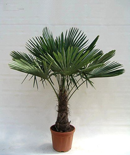faecherpalme winterhart Winterharte Hanfpalme - Trachycarpus fortunei - 150-180cm Stamm 40-50cm im 20Ltr. Topf