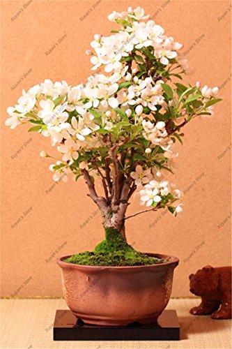 10pcs véritables graines de sakura japonais, graines d'arbres sakura, fleur de bonsaïs graines de fleurs de cerisier pour les fleurs de jardin à domicile