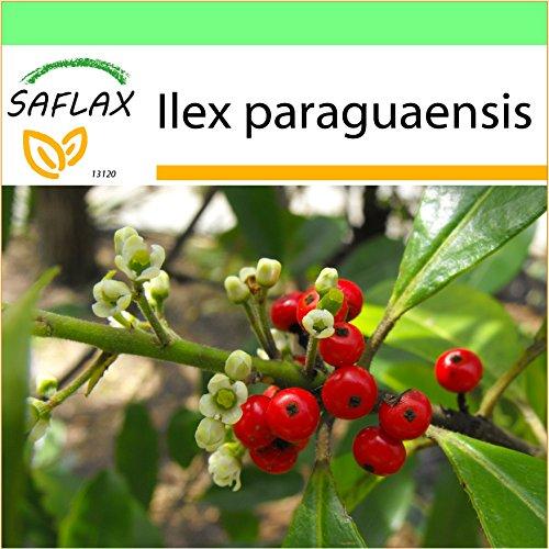 SAFLAX - Garden to Go - Yerba mate - 10 semillas - Ilex paraguaensis