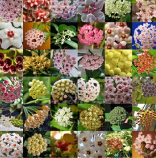 Vente chaude 2016 20 Couleurs graines rares de hoya Graines de fleurs 50pc/paquet Bonsai Graines Livraison gratuite Maison et jardin 2