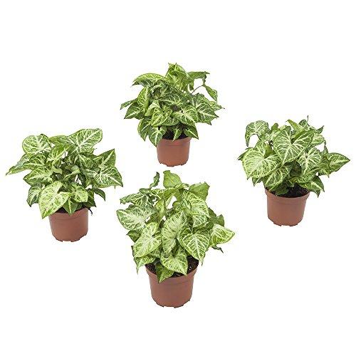 BOTANICLY | 4 × Zimmerpflanze - Purpurtute | Höhe: 25 cm | Syngonium podophyllum