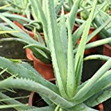 Aloe Vera Planta - Maceta 13cm. - Planta viva -...