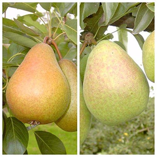 Müllers Grüner Garten Shop Duo Birnenbaum Gellerts und Köstliche von Charneux 2 Sorten auf einem Birnenbaum Quitte A