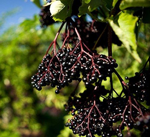 100 schwarzer Holunder Samen, Elderberry seeds, Sambucus nigra, Fliederbeerbaum