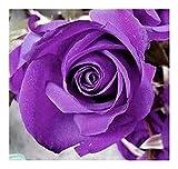 Rosa violeta - 10 semillas