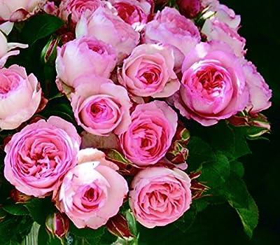 Kletterrose 'Mini Eden Rose' -R-, A-Qualität Wurzelware von Rosen-Union bei Du und dein Garten