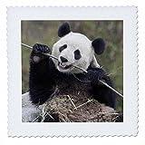 3drose QS _ 132354_ 4China, wolong, Giant Panda Bär