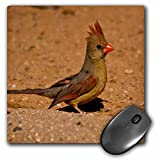 Danita Delimont - Birds - Female, Northern Cardinal on ground, Saguaro NP, Arizona, USA - MousePad (mp_208659_1)