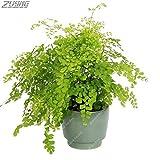 IDEA HIGH Seeds-ZLKING 200 PCS Die ältesten Landpflanzen Fern Bonsai Indoor Bonsai Wichtige Verschönerung Pharmazeutisch verträgliches essbares: 200Fern9