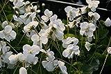 Viola sororia 'Albiflora' - In a 0.5 L square pot