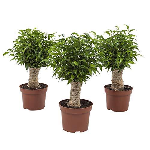 Ficus Benjamina Columnar 105cm env. Plante verte FloraAtHome