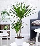 """BALDUR-Garten Dracena""""Marginata"""" ca. 70 cm hoch, 1 Pflanze Zimmerpflanze Drachenbaum"""