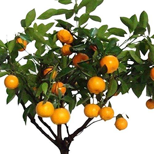 Rosepoem 30 Stücke essbare obst citrus orange baum samen pflanzen bonsai hausgarten pflanzen