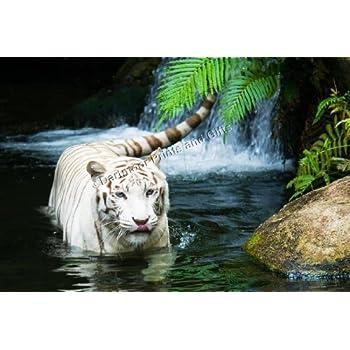 Tiger Big Cat White Tiger U0026 Waterfall Wildlife Canvas Art Print   Stunning  Canvas Giclee Art
