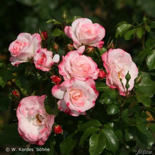 Beetrose Ansehnliche Weiße Blüten