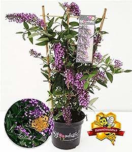 """BALDUR-Garten Kletternde Buddleia""""Schmetterlingswand"""",1 Pflanze Sommerflieder Schmetterlingsflieder Schmetterlingsstrauch Zierstrauch, 1 Pflanze Buddleja Hybride"""