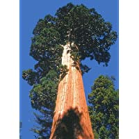 TROPICA - Secuoya gigante (Sequoiadendron gigantea) - 50 semillas- Resistente inviern