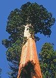 Tropica - Berg - Mammutbaum (Sequoiadendron gigantea) - 50 Samen
