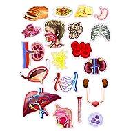 Alla-scoperta-del-corpo-umano-Le-meraviglie-del-sapere-Con-gadget-Con-Poster