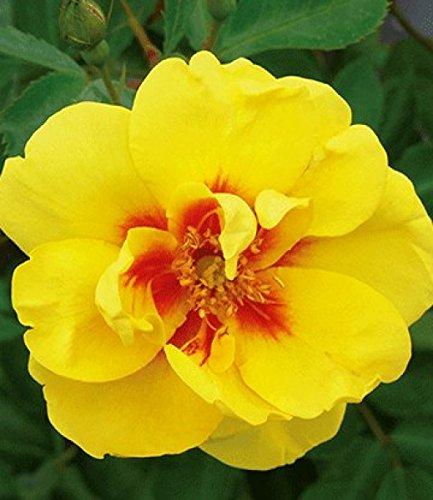 Rosarot Pflanzenversand p344