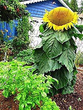 Potseed Germination Les graines: 50 graines: « USA » Noir géant Russe de Tournesol 25-200 Graines Bio