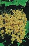 Ribes rubrum 'Weiße Versailler' - Weiße Johannisbeere