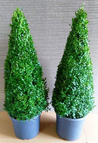 2 x Buchsbaum Kegel, Höhe: 100-110 cm, Pyramide, Buxus, Formschnitt + Dünger