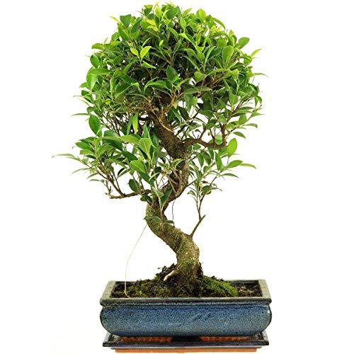 Banyanfeige, Bonsai, 12 Jahre, 45-50cm