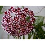 (20) Las semillas rosa oscuro Luz Hoya Planta Ball Seed Orchard jardín de flores de cera