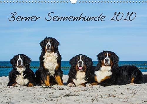 Berner Sennenhund 2020 (Wandkalender 2020 DIN A3 quer): Kalender Berner Sennenhunde 2014 (Monatskalender, 14 Seiten ) (CALVENDO Tiere)