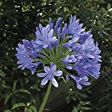 Agapanthus 10 bulbs - Blue (10-)