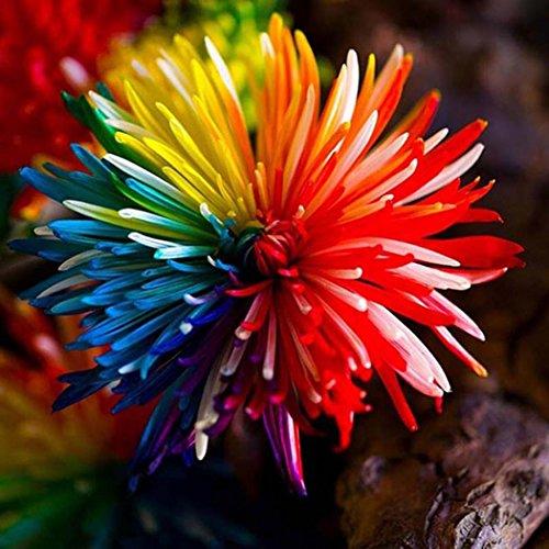Kisshes semi di fiori rari da giardino crisantemi colorati crisantemi arcobaleno - semi di fiori bonsai per il giardino