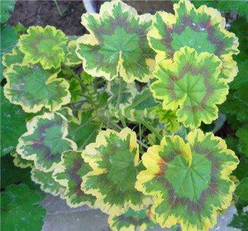 2016 chaud vente 100 Pcs Violet univalve Géranium Semences Semences vivaces Graines de fleurs Pelargonium peltatum pour chambres d'intérieur