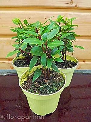 Gewürz Lorbeer Laurus nobilis Nachhaltige Kräuter Pflanzen 1stk. von Florapartner - Du und dein Garten